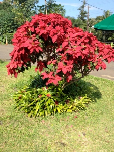 This is what it looks like - a random poinsettia bush in full bloom.