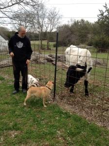 Meeting Elvis the steer